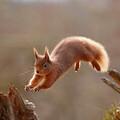 Red squirrel – courtesy of scotlandbigpicture.com