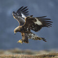 : Golden eagle © Mark Hamblin / scotlandbigpicture.com