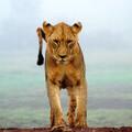 Lion by Sergey Pesterev on Unsplash