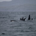 Mystery killer whale pod seen from Silurian near Vatersay, June 2018 © Hebridean Whale and Dolphin Trust