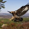 Golden eagle © Mark Hamblin scotlandbigpicture.com