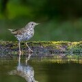 Song Thrush - copyright Andy Morffew
