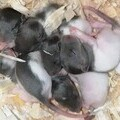 Cute but avoidable baby rats that needed to be rehomed