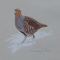 Grey Partridge in Snow - Ashley Boon