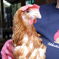 500,000th hen being re-homed to her new family