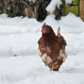 Could you give a hen a happy and cosy coop for this winter and beyond?