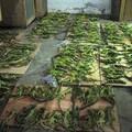 Over 50% of an iguana shipment found dead. Photo: PETA.