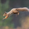 Red squirrel © Peter Cairns www.scotlandbigpicture.com