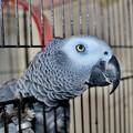 African grey parrot. Credit: Adrian Black  istockphoto.com
