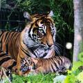 Sumatran tiger twin cubs