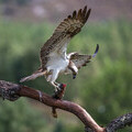 The osprey is one of the top 20 most well-represented bird species on the Internet, based on data from the new study.