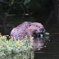 Beaver eating in water © David Parkyn
