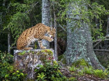 Eurasian lynx, Jura Mountains, Switzerland © Laurent Geslin