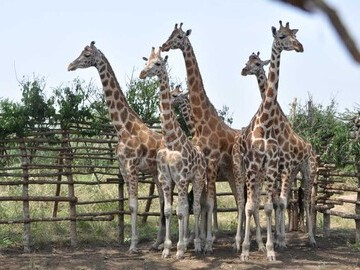 Credit: GCF Giraffes in boma