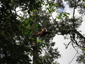 Orangutan in trees following release