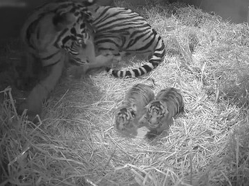 tiger cubs london zoo