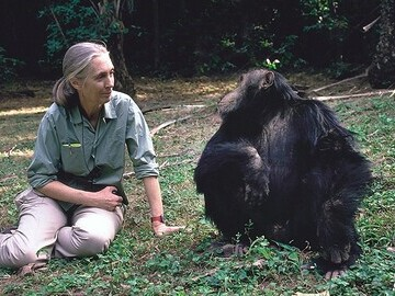 Jane Goodal with chimp credit Michael Neugebauer