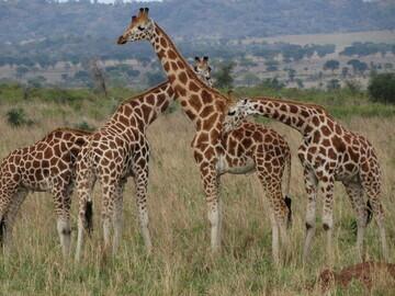 CRedit GCF Nubian Giraffe