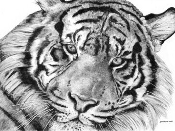 Tiger_face by Eric Ray for Sketch for Survival 2018