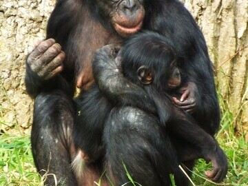 Photograph - Bonobo and Baby 2013
