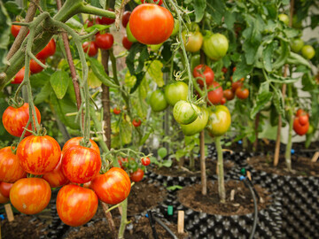 Tomatoes growing in Air-Pot containers