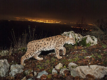 Eurasian lynx with town lights, Swiss Jura © Laurent Geslin