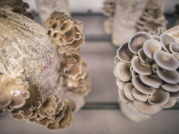 Oyster mushroom columns growing at The Pig at Combe