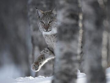 Lynx  © scotlandbigpicture.com