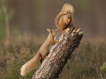 Red squirrels © Peter Cairns www.scotlandbigpicture.com
