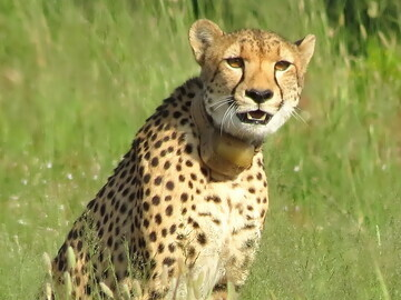 Cheetah mom watches warily