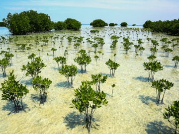 image of mangrove trees being planted in crystal clear waters